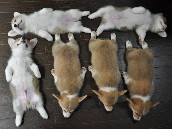 Six-Corgi-Puppies-Sleeping
